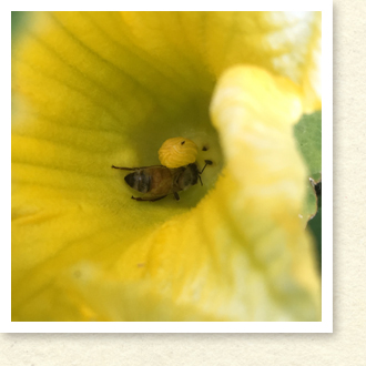 カボチャの花とミツバチ